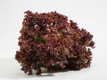 Lollo rosso saláta