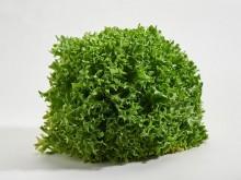 Lollo verde saláta